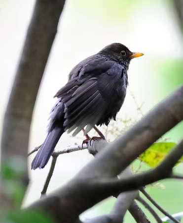 bedraggled: Bedraggled fledgling blackbird (turdus merula)