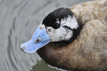 The head of a male White-headed Duck (Oxyura leucocephala) showing the unusual blue bill. Stock Photo