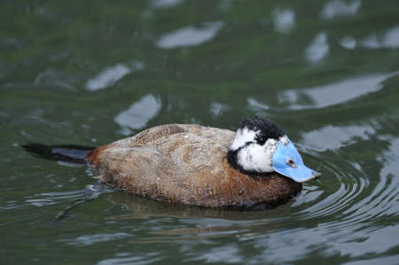 white headed: Male White-headed Duck (Oxyura leucocephala) with an unusual blue bill.