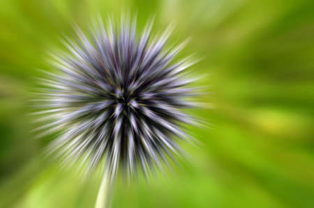 Dynamic abstract image created by blurred by zooming a globe thistle photo