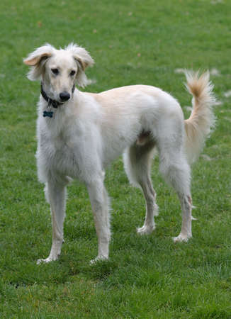 Saluki, one of the oldest breeds of domesticated dog. Admired for its beauty, grace, speed and endurance -- faster than a greyhound.  A purebred sighthound