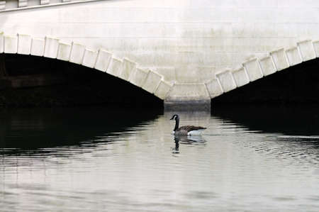 reflecting: Canada goose swimming in the reflection of a false wooden bridge