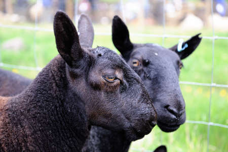 terrestrial mammals: A prizewinning pair of black gimmers -- females that have not yet bred -- from Northumberland.