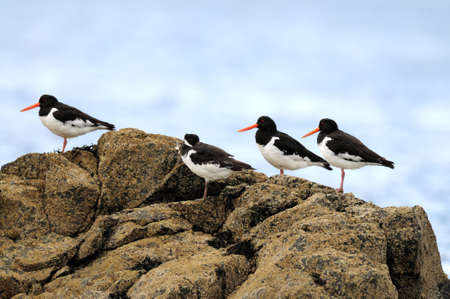 Eurasian Oystercatchers (Haematopus ostralegus) roosting on a barnacle-encrusted rock Stock Photo - 3529081