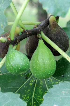 purgative: A ripening fig on a tree (Ficus carica), surrounded by others at different stages of development