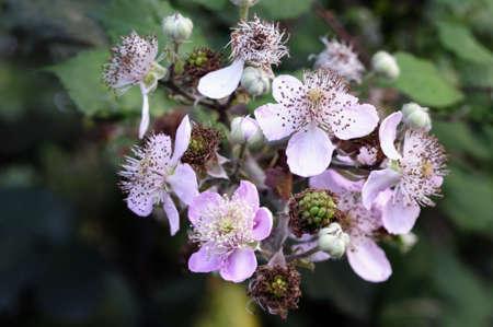 weald: Flowering blackberries (Rubus fruticosus) or brambles