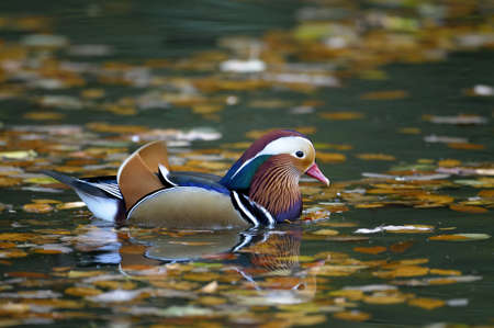 drakes: Mandarin Drake (Aix galericulata) swimming in a pool of autumn leaves Stock Photo
