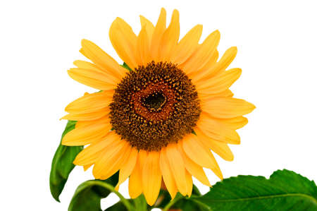 helianthus annuus: Isolated sunflower (Helianthus Annuus) with a few green leaves Stock Photo