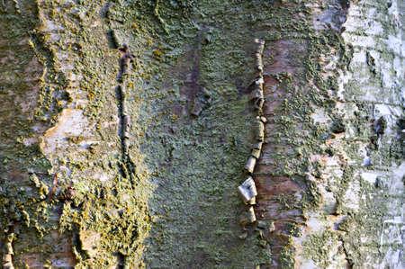 betula pendula: Silver Birch (Betula pendula) bark detail with lichen in winter side light