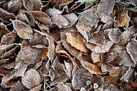 hoar frost: Fallen beech leaves covered in hoar frost