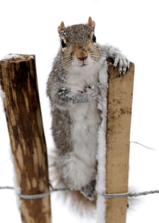 carolinensis: Curious grey squirrel (Sciurus carolinensis) leaning on a post, hoping for food, in the snow Stock Photo