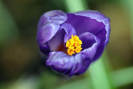 stigmate: Waxy mauve crocus floraison, le d�but du printemps, avec s�lective ax�e sur la stigmatisation d'or