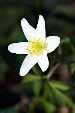 windflower: White European Wood aneomone (anemone nemorosa) or windflower.