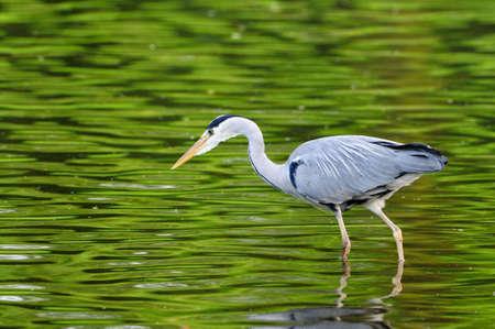 ardea cinerea: Grey Heron (ardea cinerea) fishing on a still pond reflecting leaves