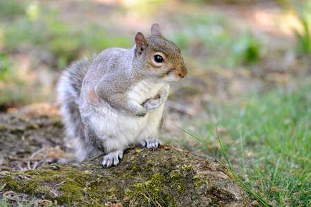 Grey squirrel (Sciurus carolinensis) sitting up on the gound Stock Photo - 4866698
