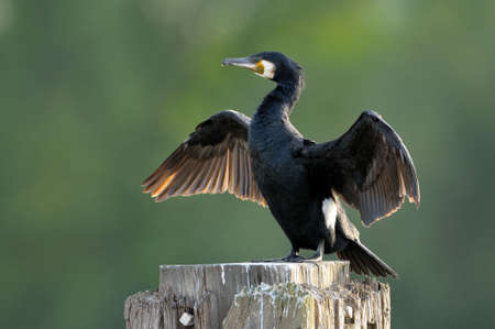 cormorants: Great Cormorant (Phalacrocorax carbo) drying wings.