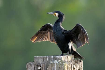 Great Cormorant (Phalacrocorax carbo) drying wings.