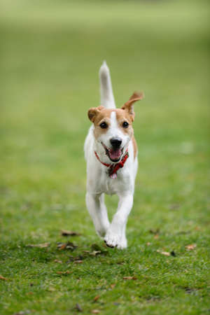 playfulness: Parson Jack Russell running towards camera, tail in the air Stock Photo