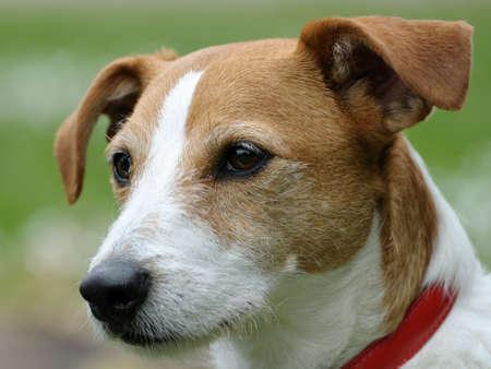 Smooth beschichtet Parson Jack Russell Terrier Porträt