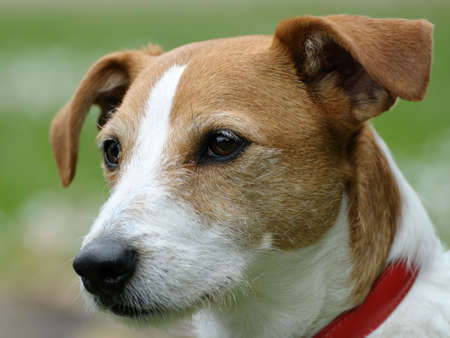 terrestrial mammals: Smooth coated Parson Jack Russell Terrier portrait