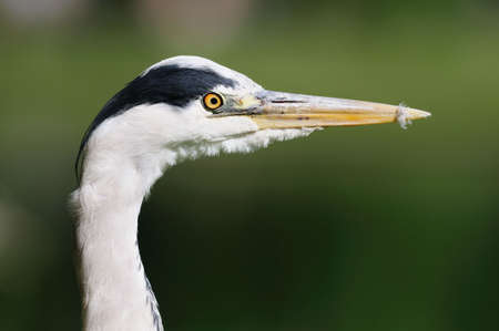 Portrait of a young Grey Heron (ardea cinerea) with traces of down on its beak from preening, London, England, UK Stock Photo - 5077983