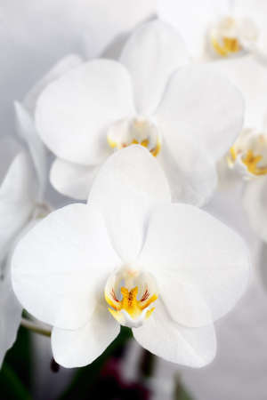 phal: A collection of white Phalaenopsis (moth orchid) blooms