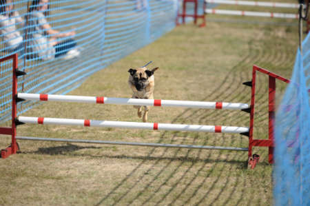 irony: Pug, demonstrating surprising agility by jumping over a hurdle at a dog show