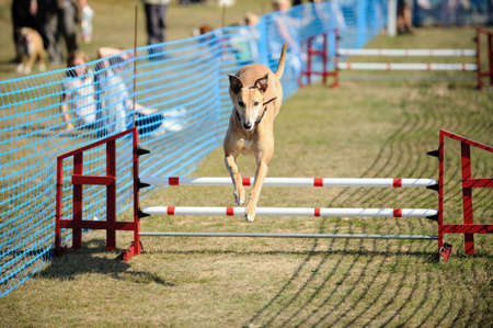 Greyhound, demonstrating its agility by jumping over a hurdle at a dog show