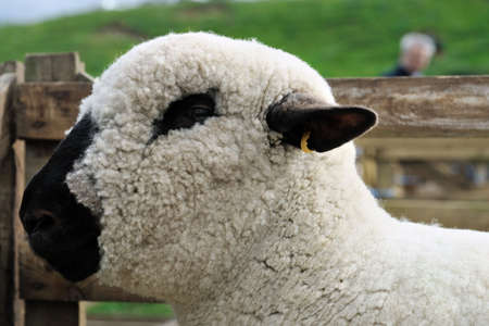 wooly: Portrait of a Hampshire Down sheep, with its woolly poll