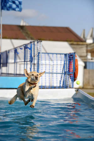 Golden Labrador jumping into a pool of water