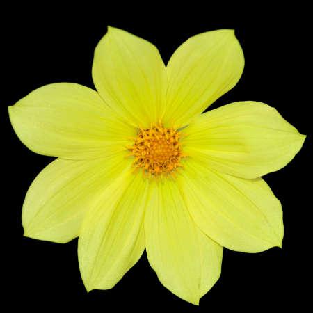 Yellow dahlia (dahlia coccinea), isolated on black Stock Photo - 5582614