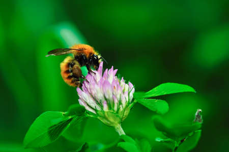 Close-up of a honey bee collecting nectar from red clover flower
