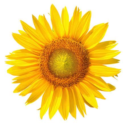 zonnebloem: Geïsoleerde zonnebloem kop op een witte achtergrond Stockfoto