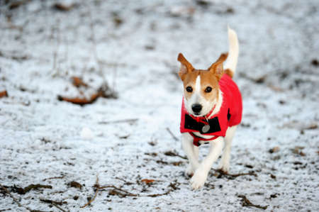 Parson Jack Russell in bright red winter coat running at full speed towards the camera in the snow Stock Photo