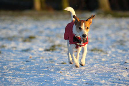 gleeful: Parson Jack Russell in bright red coat, mid-air, enjoying scampering in the snow in the low winter sun. Stock Photo