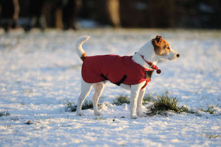 dashing: Parson Jack Russell in bright red winter coat looking into the setting sun on a snowy afternoon