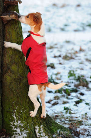tenacious: Parson Jack Russell in bright red winter coat climbing a tree, looking for a treat on a snowy day