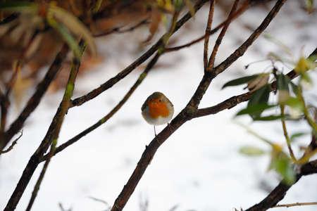 robins: Robin redbreast perching in a bush in winter snow