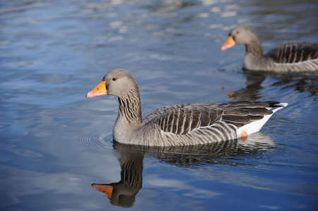 water fowl: Greylag Geese swimming on a lake
