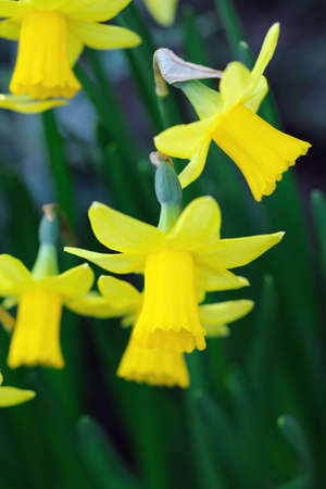 perianth: Yellow dwarf trumpet daffodils with tiny white petal tips Stock Photo