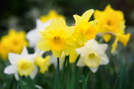 perianth: A variety of yellow and white trumpet daffodils, with selective focus on the front flower