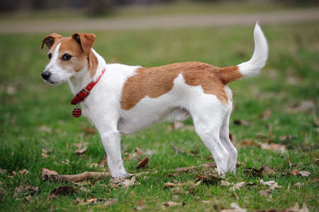 jack russell: Parson Jack Russell Terrier standing in a park