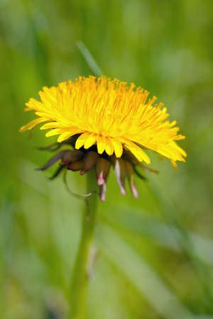 bracts: Dandelion (taraxacum officinale) flower head on a sunny day