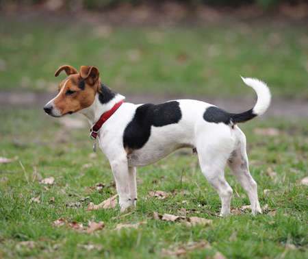 One-year old Jack Russell Terrier standing in a park