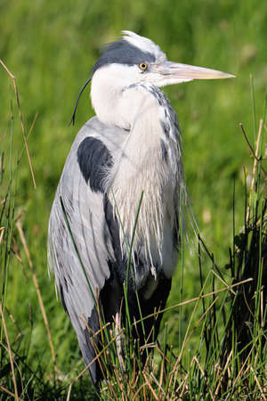 ardea cinerea: Grey Heron (ardea cinerea) resting in a reed bed on a sunny afternoon