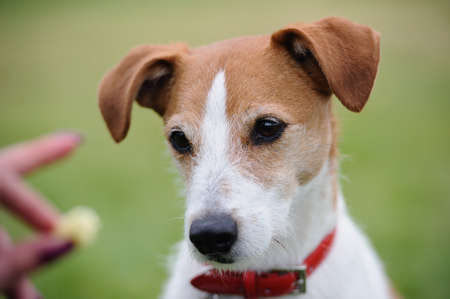 Portrait of a Parson Jack Russell Terrier transfixed by the prospect of a treat Stock Photo