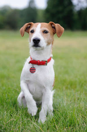 Parson Jack Russell Terrier lifting his paw photo