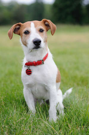 Parson Jack Russell Terrier sitting in a park photo