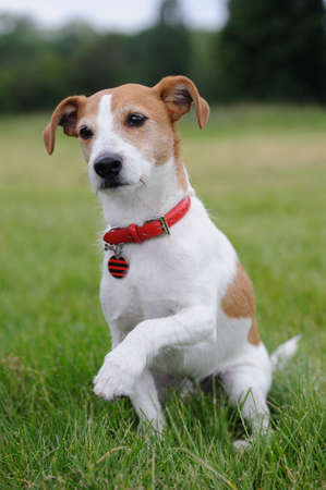 Parson Jack Russell Terrier offering his paw photo