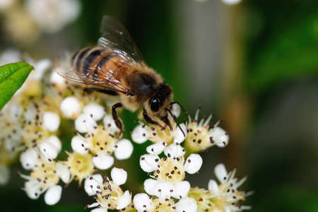 Close-up of a honey bee gathering nectar photo